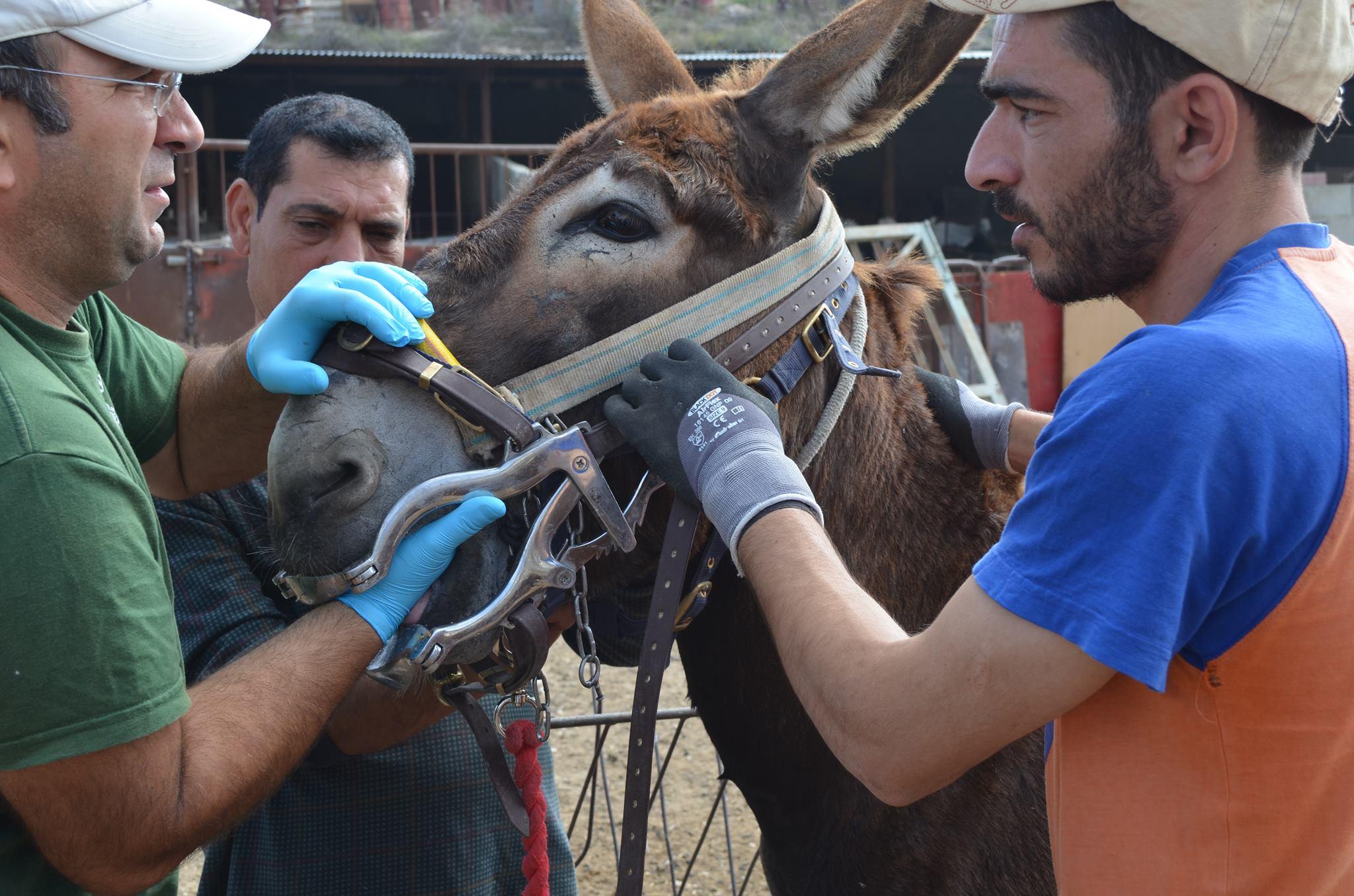Donkey having a dental check