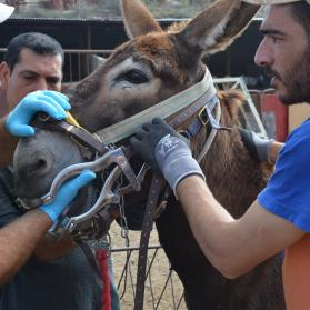 Donkey having a dental check